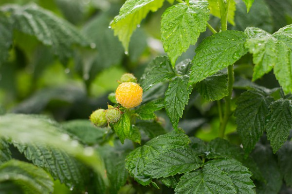 Nově prodávaným artiklem v segmentu superpotravin budou žluté maliny